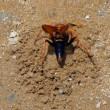 子どもの餌はクモ! キオビベッコ(黄帯鼈甲)