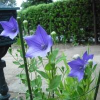 和風にピッタリ キキョウの花