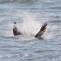 ミサゴのコノシロ漁その2