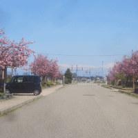 八重桜と郷倉和子展