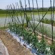 【作業】管理(オクラ、ホウレン草、さつまいも、枝豆、トマト、にんじん)