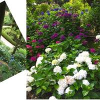 三景園の紫陽花