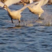 白鳥 (邑楽・多々良沼)