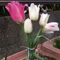 1本から5つの花のチューリップ