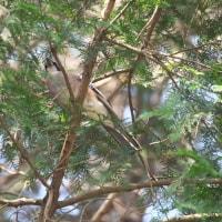 林の中のカケス達