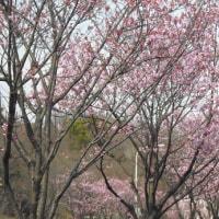 陽光桜 ( ヨウコウザクラ )