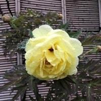 牡丹の花を見て偲ぶ