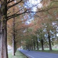 メタセコイアの並木道へ(滋賀県)