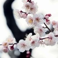 豊後(ぶんご)の梅