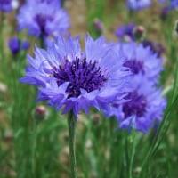 ヤグルマギク(青紫)