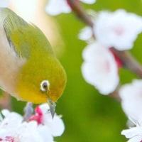 春盛り・・・アンズの花に・・・メジロ来たる