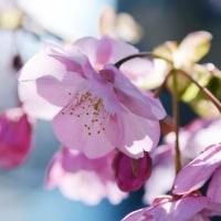 河津桜。。。。