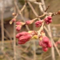 岩岳垂れ桜、、