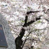 3/30、4/2<2017名古屋桜お花見>桜のトンネル&お花見名所6景めぐりバスツアー