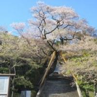普段着の桜。
