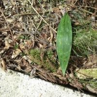金剛山の植物に親しむ会