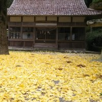 銀杏の葉がジュータンのよう。