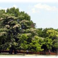 初夏の大空に…(^^♪薄紫の明るい色の花が咲きはじめた 「センダン(栴檀)」の木