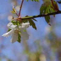 今日の春は白だった…モミジイチゴが彼方此方に