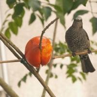 熟し柿とヒヨドリ(1月20日)