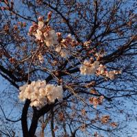 4月13日 桜開花