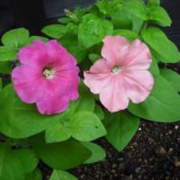 咲きました ペチュニアの花