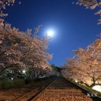 インクラインの桜#2