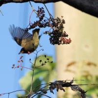カラスザンショウの実を啄むキビタキメスの動き