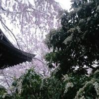 長桂寺の桜