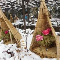 名古屋の積雪3センチ (冬牡丹)