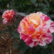 薔薇咲き盛り