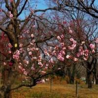 郷土の森 梅祭り/      2017-03-19