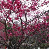 八重桜 in 台北市の永静公園