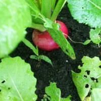 冬野菜の収穫が始まってきた~