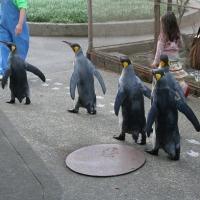 ペンギン散歩今昔・越前松島キング2