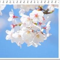 ひらり ひらひら・・・・桜の花びらマジック