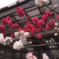 城山動物園の桜