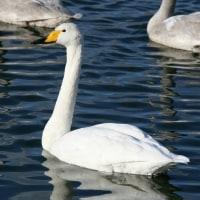 白鳥は羽を広げ、落ち葉は必死に耐える