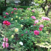 妙雲寺のぼたん園