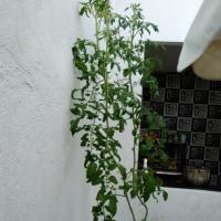 トマトの成長記録  Tomato's growth record 5/26