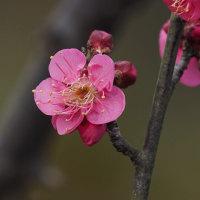 梅の花はスカばかり