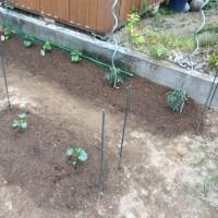 イチゴを収穫しました(^o^)