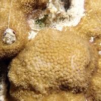 沖縄県瀬底島のサンゴの産卵観察(11日目)