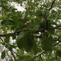 林檎の花が咲き始めました。