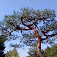 アカマツ文人木の剪定