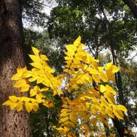 長野の紅葉黄葉:ヤマウルシが黄葉していました。