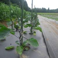 落花生一部播種、千両茄子の誘引、ポワロー定植