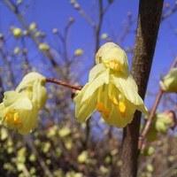 季節の花「日向水木(ひゅうがみずき)」