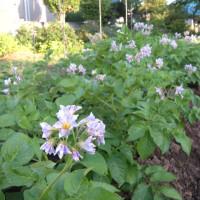 ジャガイモの花満開!