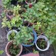 鉢植えブルーベリーに草が